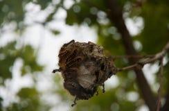 шатер гусениц восточный Стоковое Фото