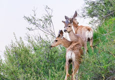 Шатия оленей осла стоковое фото rf