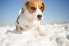 Шаловливая собака бигля Стоковые Фото