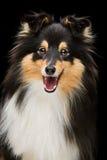 Шаловливая собака sheltie Стоковые Изображения RF