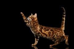 Шаловливое положение кота Бенгалии мужское, лапка повышения, изолировало черную предпосылку Стоковые Фотографии RF
