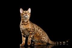 Шаловливое усаживание кота Бенгалии женское, лапка повышения, изолировало черную предпосылку Стоковая Фотография