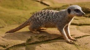 Шаловливое Meerkat Стоковое фото RF
