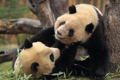 Шаловливые панды Стоковое Изображение RF