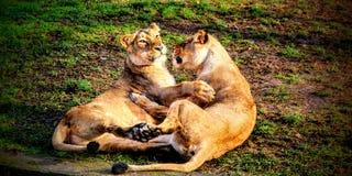 Шаловливые львы Стоковое Изображение