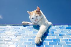Шаловливый белый кот около бассейна Стоковое Фото