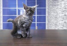 Шаловливый енот Мейна сидит внутри на деревянном столе Стоковая Фотография