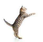 Шаловливый котенок смотря вверх Изолировано на белизне Стоковые Изображения RF