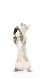 Шаловливый котенок toyger стоит вверх изолированная рука выставки Стоковая Фотография