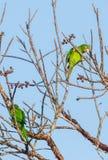 Шаловливый кубинський длиннохвостый попугай подавая на одичалых плодоовощах Стоковые Фотографии RF