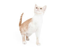 Шаловливый отечественный котенок Shorthair Стоковое фото RF