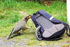 Шаловливый попугай Kea грызя на рюкзаке Стоковая Фотография