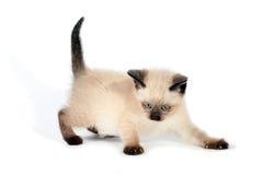 Шаловливый сиамский котенок Стоковое Изображение