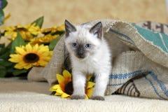 Шаловливый сиамский котенок Стоковые Изображения RF