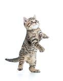 Шаловливый шотландский котенок смотря вверх на белизне Стоковое Изображение RF