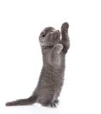 Шаловливый шотландский котенок shorthair стоя на задних ногах изолировано Стоковое Изображение RF