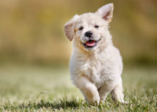 Шаловливый щенок золотого retriever Стоковая Фотография