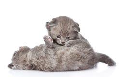 2 шаловливых великобританских котят shorthair Изолировано на белизне Стоковое Фото