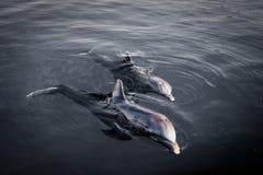 2 шаловливых дельфина Стоковая Фотография