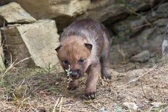 Шалфей прерии щенка волка пахнуть Стоковое Изображение RF