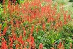 Шалфей шарлаха splendens Salvia, тропический шалфей Стоковое Изображение RF