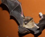 Шальная летучая мышь на поле Стоковое Фото