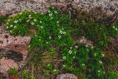 Шведские цветки Deren белые дали фарфором, котор территория России добросердечного primorski заводов lotuses северо-восточного ре стоковая фотография rf
