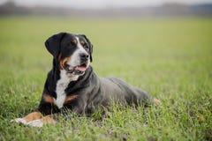 швейцарец горы собаки большой Стоковые Изображения RF
