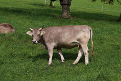 швейцарец земли зеленого цвета фермы коровы Стоковая Фотография RF