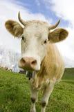 швейцарец коровы Стоковые Изображения RF