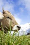 швейцарец коровы Стоковые Фотографии RF