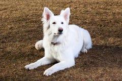 швейцарец чабана собаки земной кладя Стоковые Изображения RF