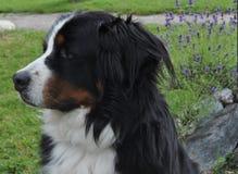 Швейцарская собака стоковые фотографии rf