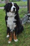 Швейцарская собака стоковые изображения rf
