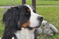 Швейцарская собака стоковое фото