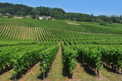 швейцарские виноградники Стоковые Изображения RF
