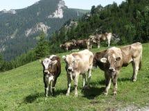 Швейцарские коровы в горах Лихтенштейна Стоковая Фотография