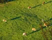 Швейцарские коровы пасут на виде с воздуха луга, Gruyeres, Швейцарии Стоковые Фото