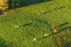 Швейцарские коровы пасут на виде с воздуха луга, Gruyeres, Швейцарии Стоковое фото RF