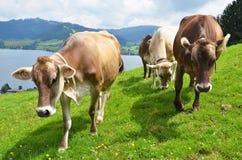 Швейцарские коровы Стоковая Фотография RF
