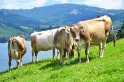 Швейцарские коровы Стоковые Изображения