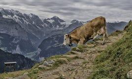 Швейцарский бык в горах Стоковые Изображения