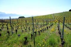 швейцарский виноградник стоковое фото