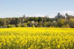 Швейцарское земледелие - поле рапса с красивым облаком - завод для зеленой энергии Стоковая Фотография RF