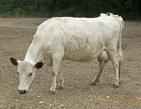 Шведская комолая корова Стоковое Фото