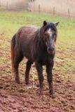 швицевание лошади Стоковая Фотография