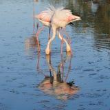 шеи 2 ног фламингоов скрещивания большие Стоковые Изображения RF