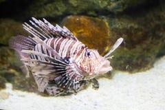 шейх sharm положения льва рыб el Стоковое Изображение