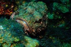 шейх sharm скорпиона положения рыб el Стоковые Изображения RF