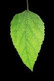 шелковица листьев Стоковые Фотографии RF